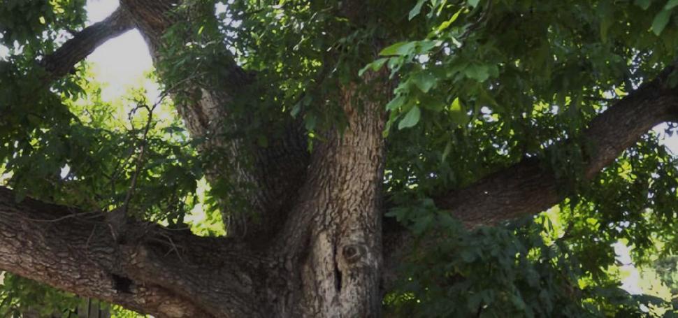 Ceviz ağacından düşen kişi hayatını kaybetti
