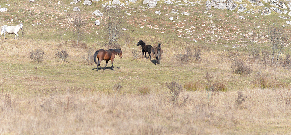 Göktepe Yaylası yılkı atlarıyla ilgi topluyor